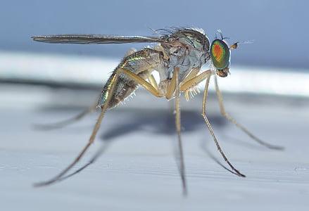 insecte, natura, dípters, sciapus, pallens, animal, close-up