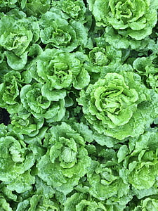 verdures, camp, hortalisses
