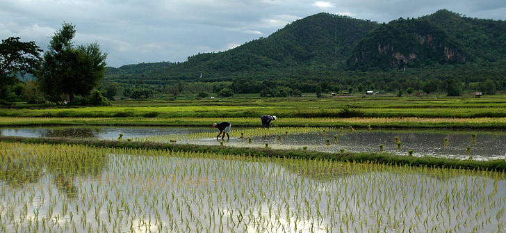 transplanting rice, rice, asia, thailand, nature, rice Paddy, agriculture