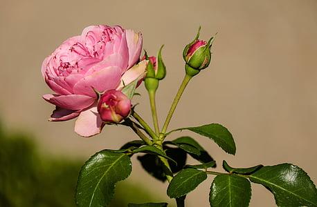 Rosa, flor, flor, flor, flors, Rosa, planta