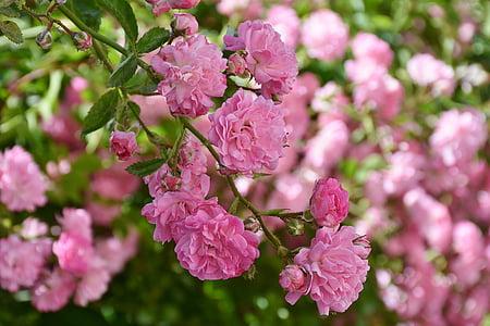 Hoa hồng, màu hồng, Hồng Hoa, nhiều hoa, mùi thơm, Đẹp, đầy màu sắc