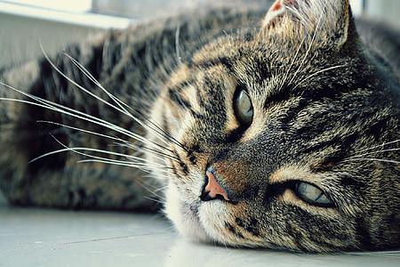 Katze, Augen, Katze-Mensch, Maulkorb-Katze, Darling, Haustiere, Katzen