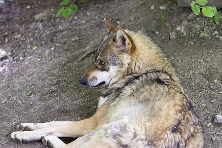Wolf, Canis lupus, Euroopa wolf, Predator, Zoo, imetaja, karusnaha