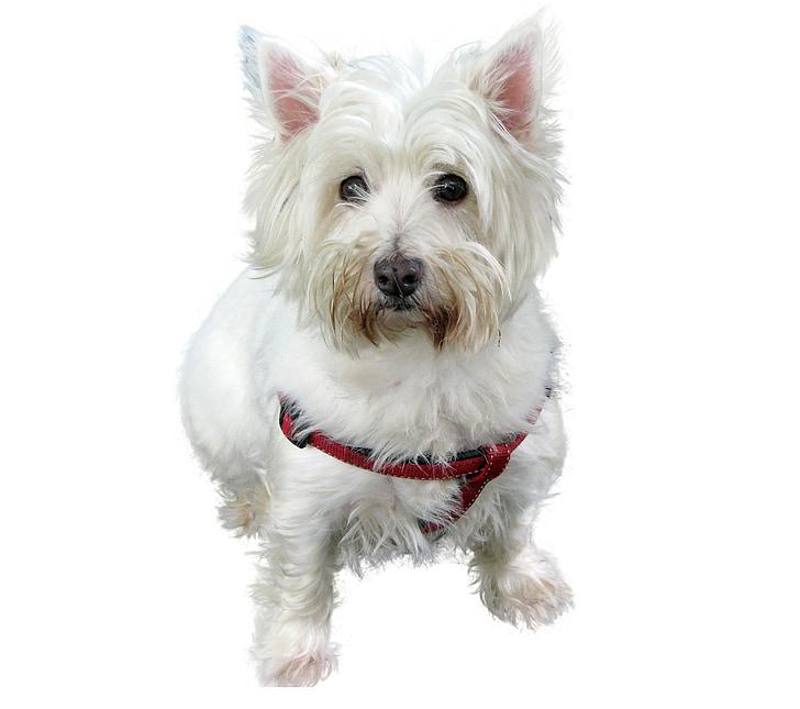 Westhifhland terrier, Terrier, Hund, weiß, in der Nähe, isoliert, Haustiere