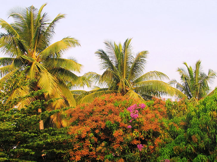 parks, sadhankeri, koki, palmas, kokosrieksts, ziedēšanas, Cassia