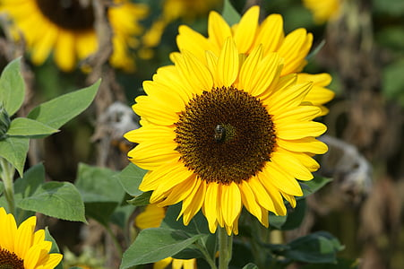 Sun flower, lill, päike, kollane, Aed, Bloom, loodus