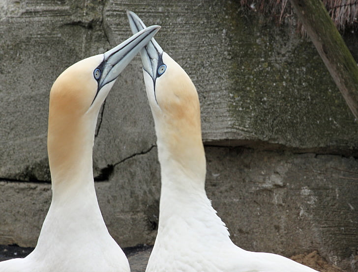 northern gannet, beaks, bill, close, bird, animal, nature