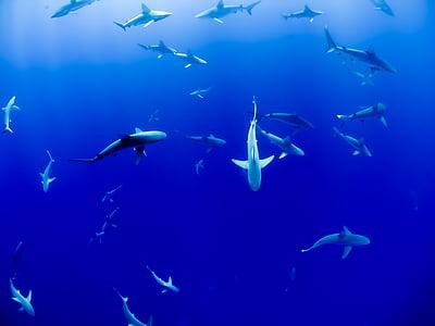 училище, акула, подводни, синьо, океан, море, риба