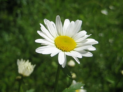 flower, nature, white, daisy, summer, plant, meadow