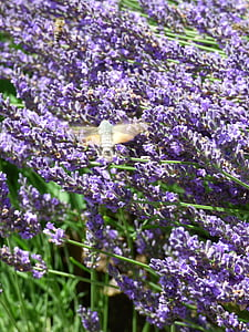 lavender, bees and owls, insect, hum