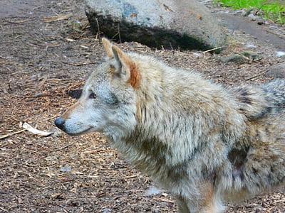 Wolf, looma, Canis lupus, Predator, jahimees, tähelepanu, hundeartig