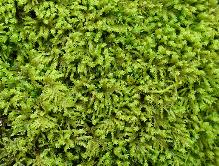 fern moss, moss, green, plant, nature, forest floor, outdoors