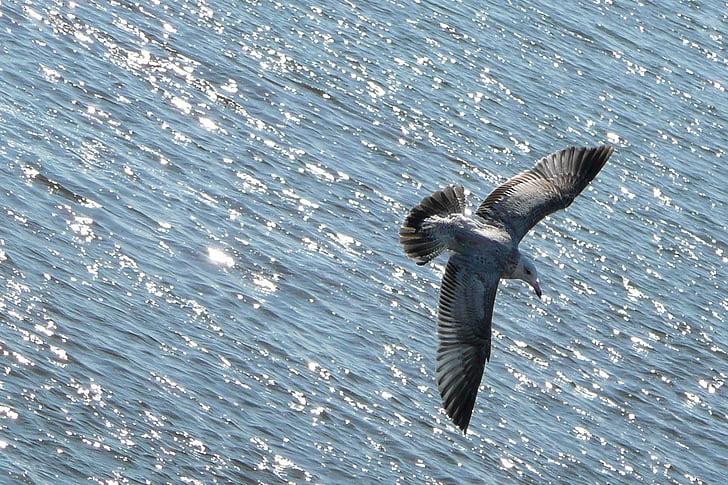cơ thể, bay, chim mòng biển, con chim, động vật, nước, Đại dương