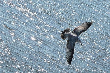 corpo, voando, Gaivota, pássaro, animal, água, oceano