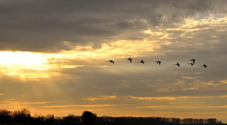 лебеди, плаж, залез, вечерта, птица, небе, атмосферни