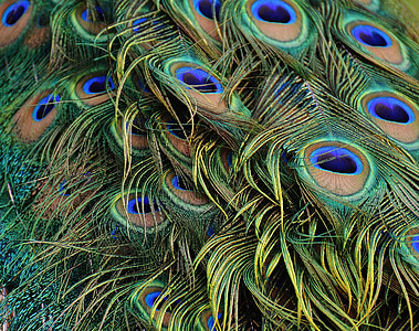 Паунови пера, паун, птица, птици, перо, бил, природата