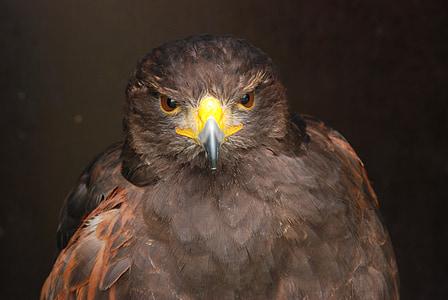 bird, bird of prey, beak, eye, nature