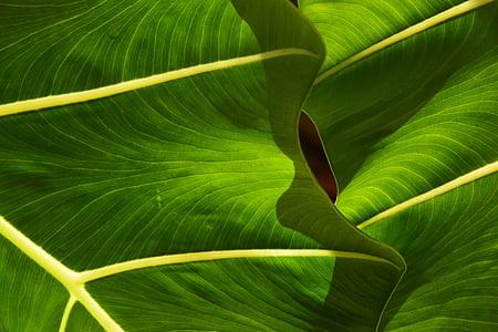 fulla, fulles, tropical, verd, natura, planta, primavera