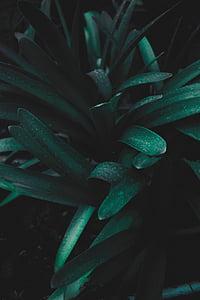 Natura, rośliny, zielony, pozostawia, wody, kropelki, rosy