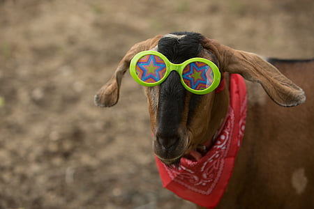 bandana, cabra, ximple, calç, estrelles, vermell, granja