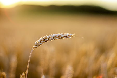 gra, camp, cereals, gra de cereal, l'agricultura, camp, camp de blat