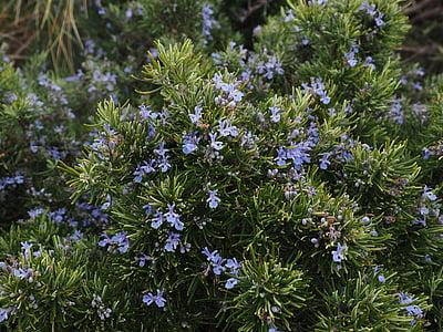 rozemarijn, bloemen, blauw, Violet, Rosmarinus officinalis, Rosmarinus, halve struik