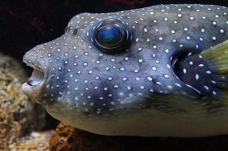 peix globus, boxfish, peix, gruix, sota l'aigua, nedar, Aquari