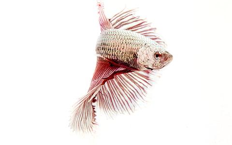 fish, fighting fish, aquatic animal, animal, siamese Fighting Fish, pets, underwater