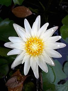 Lotus, Lotus lístia, Príroda, kvety, Zelená, biely lotus, čerstvé