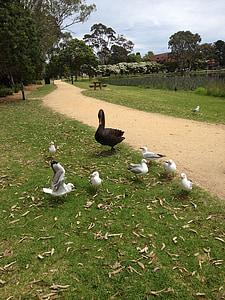 Лебедь, Чайка, Природа, перо, озеро, животное, утка