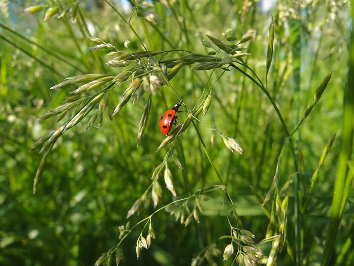 trava, ljeto, zelena, kukac, bubamara, zelena trava, krupne