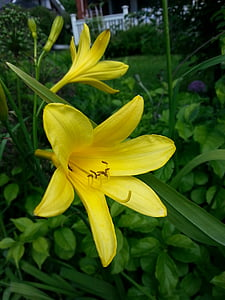 dia lily, lliri groc, planta Landrace, planta de jardí, jardí, natura, planta