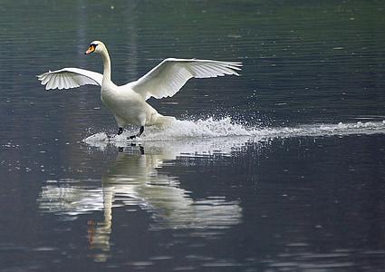 swan, wisla, nature, bird, animal, wildlife, water