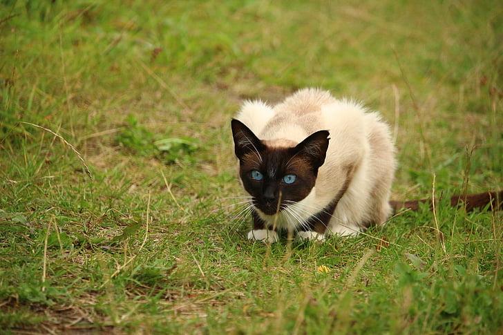 cat, mieze, kitten, breed cat, siamese cat, siamese, siam