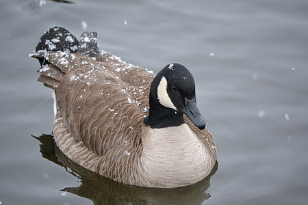 Kanadan goose, hanhi, vesi, höyhenet, eläinten, lumi, lintu