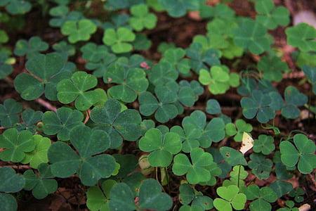 Πάουλ Κλέε, φύση, φυτό, πράσινο, κόκκινο τριφύλλι, το τετράφυλλο τριφύλλι, τύχη