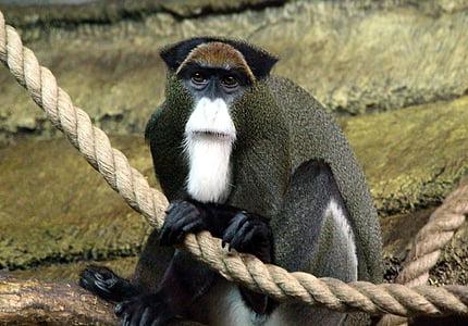 Cercopitec de brazza, Tití, Cercopithecus neglectus, mico, primacia, zoològic, veure