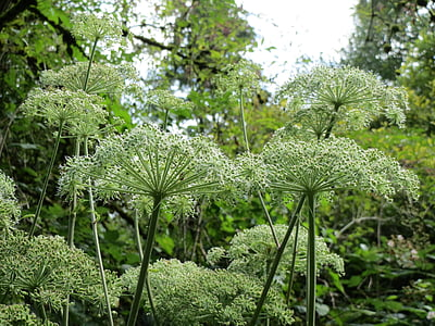 Angelica sylvestris, Angèlica salvatge, flors silvestres, flora, inflroescence, botànica, planta