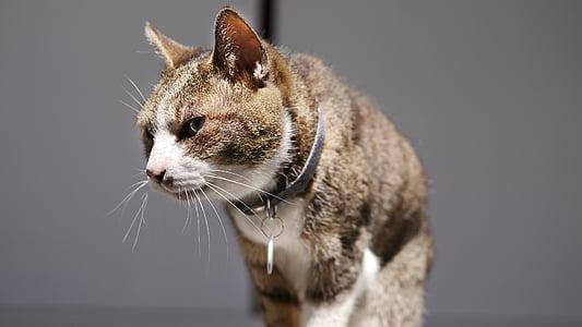 cat mia, walk, pet, animal, pets, domestic Cat, cute