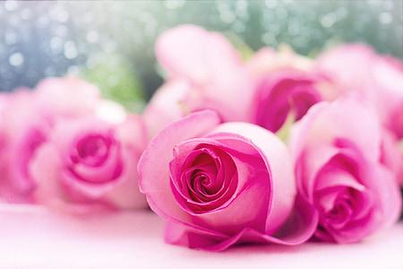 rausvos rožės, rožės, gėlės, Romantika, Romantiškas, meilė, Valentino