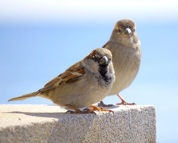 birds, sparrows, ave, little bird, animal, male and female, fauna