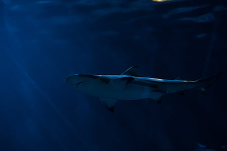 블랙, 하얀, 물고기, 바다, 물, 상어, 수 중