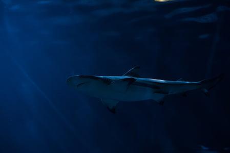 svart, vit, fisk, Ocean, vatten, Shark, Underwater