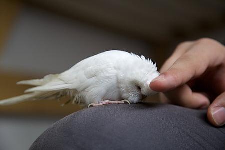acariciant la mà, Lloro, animal de companyia, ocell, blanc, Periquito