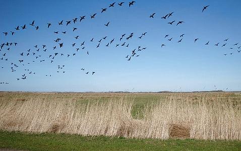 прелетни птици, стадо от птици, птици, лети, природата