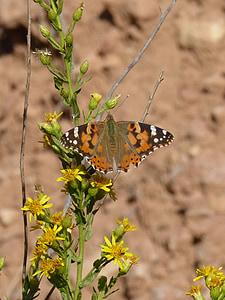 vlinder, libar, bloem, Distelvlinder, Vanesa van distels, migreren dels kaarten