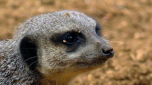 looma, Wildlife, Aafrika, kinni panna, Suurendus:, Lähis Joonis, Colchester zoo