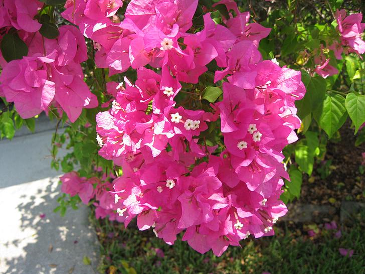 kvety, ružová, Príroda, rastlín, kvet, kvet, Zelená
