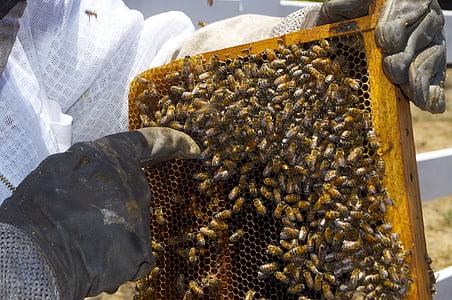 mel, abella, flascó de mel, abella, insectes, abelles, insecte