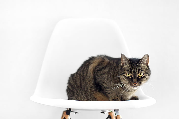 cat, chair, sit, setup, white background